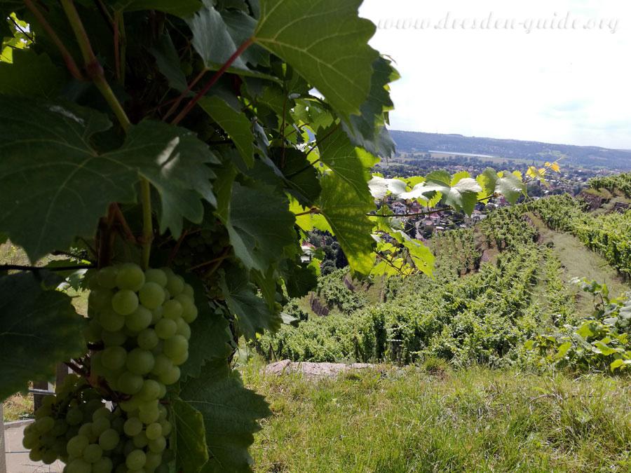 Саксонские виноградники